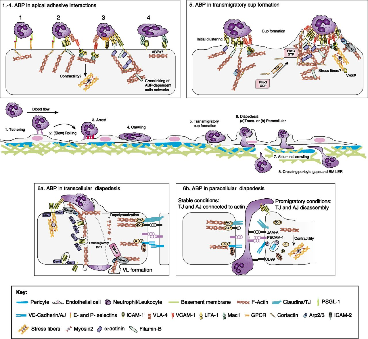 Abp 656 endothelial actin-binding proteins and actin dynamics in