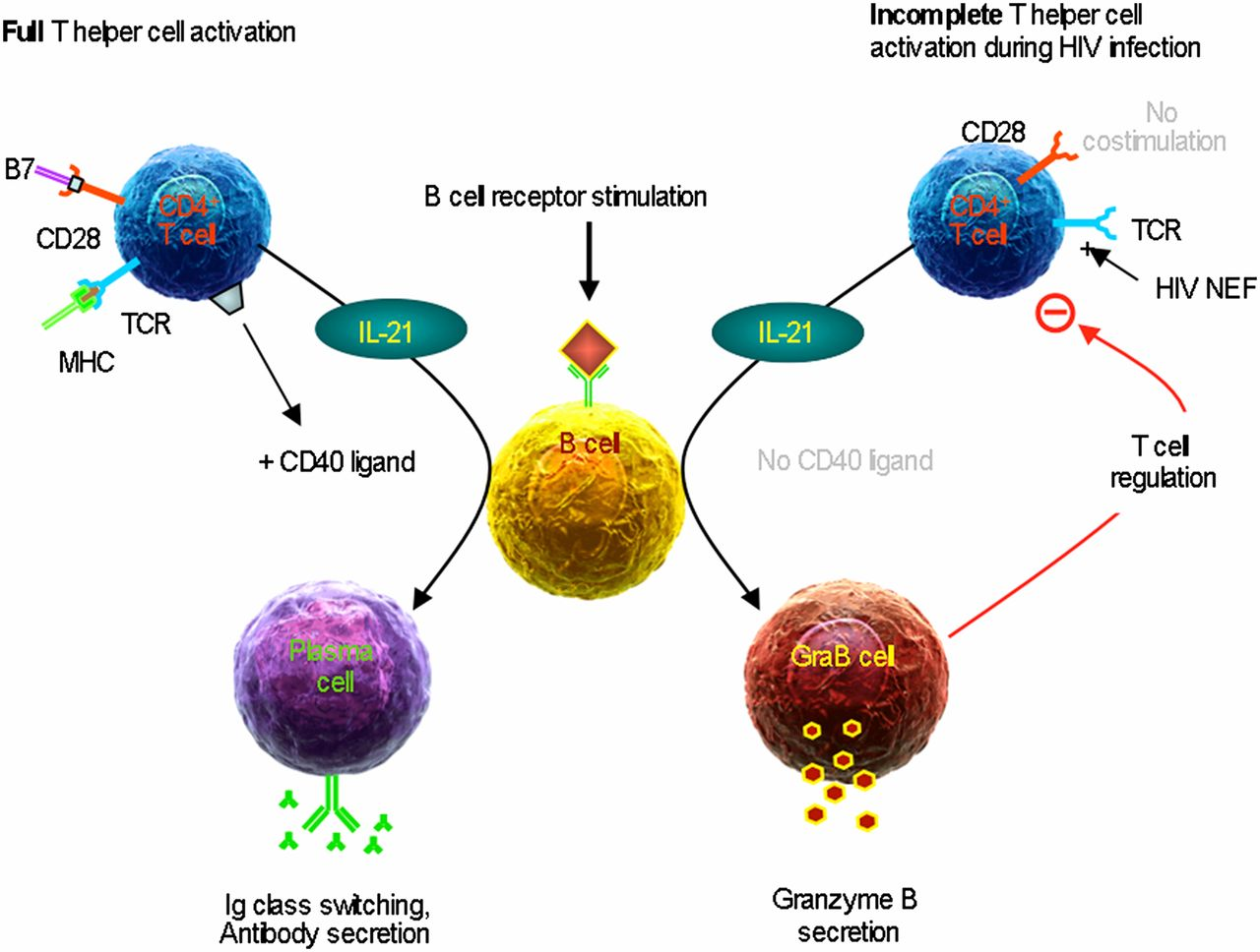t cells and cd4 Cd4+ t cells along with other peripheral blood immune cells & media products at lonzacom.