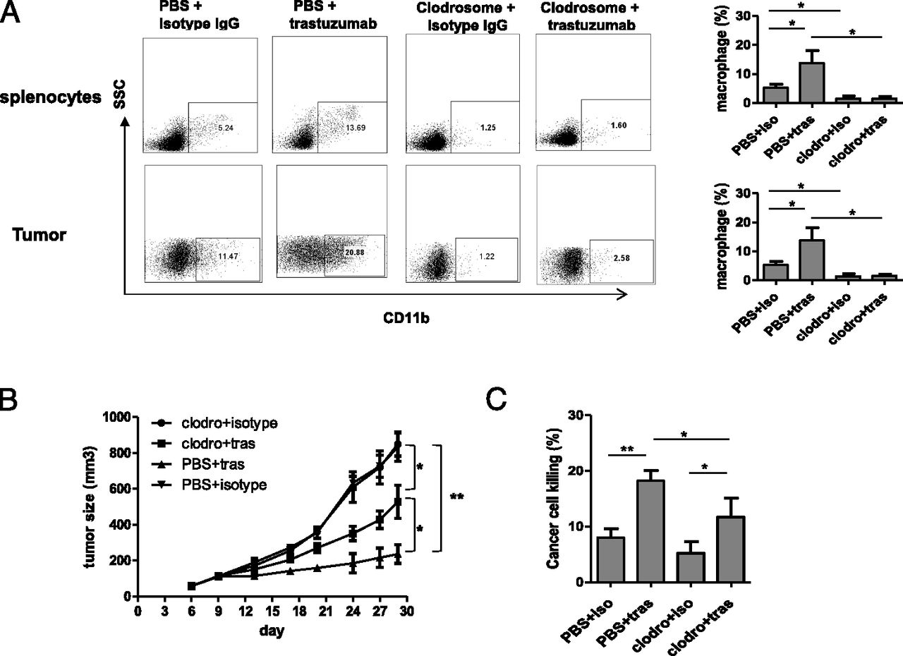 Trastuzumab Triggers Phagocytic Killing of High HER2 Cancer Cells In