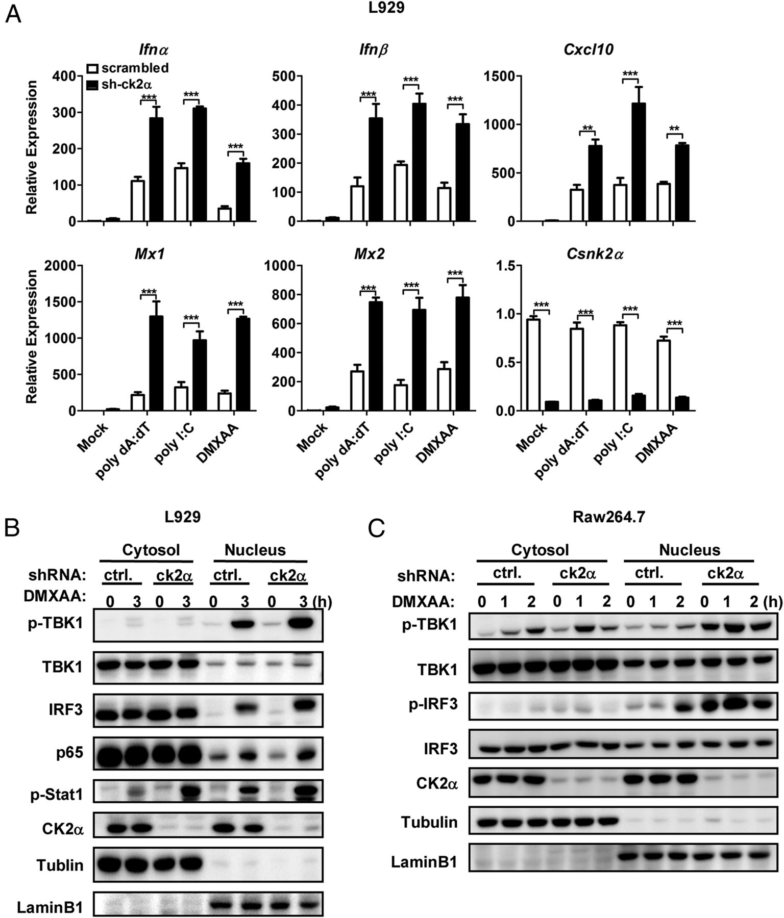 DNA mobility shift binding assay and analysis of dT to dA