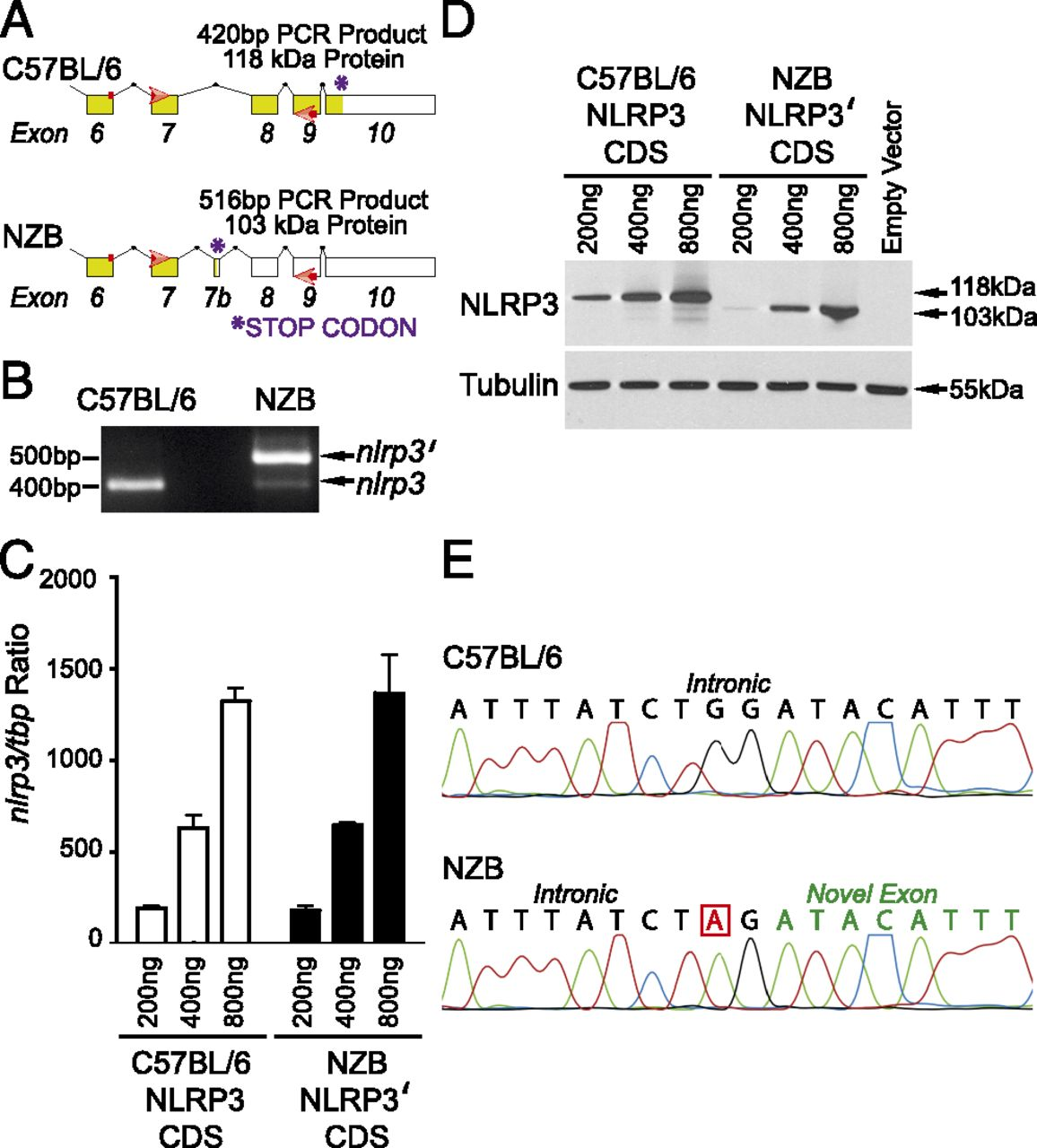 Deficient NLRP3 and AIM2 Inflammasome Function in Autoimmune NZB ...