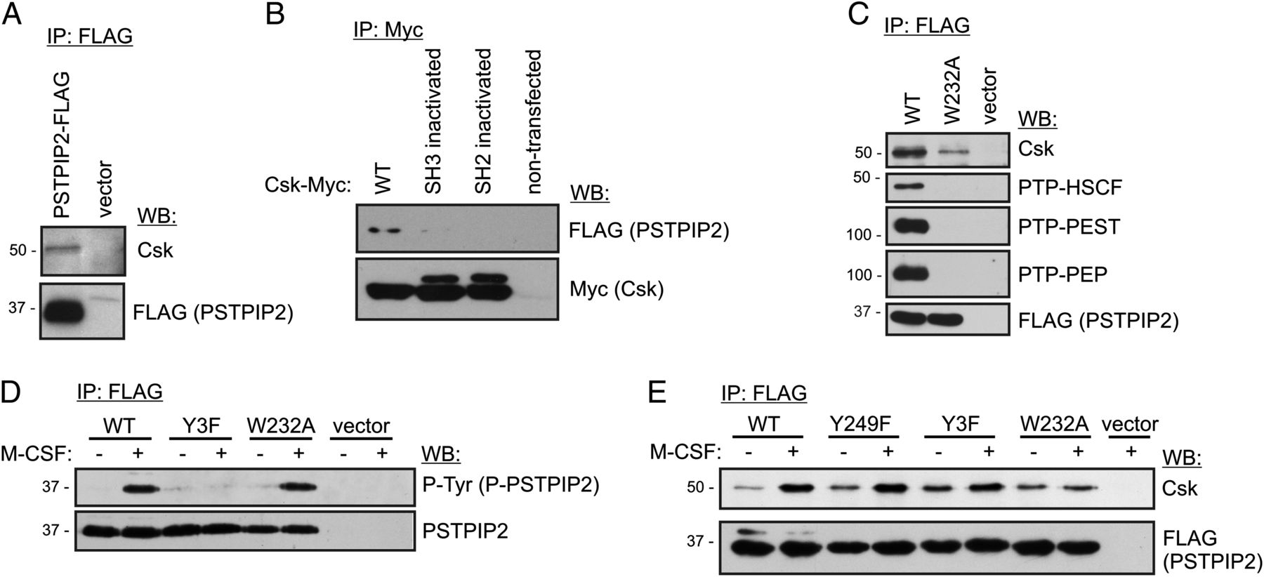 PSTPIP2, a Protein Associated with Autoinflammatory Disease