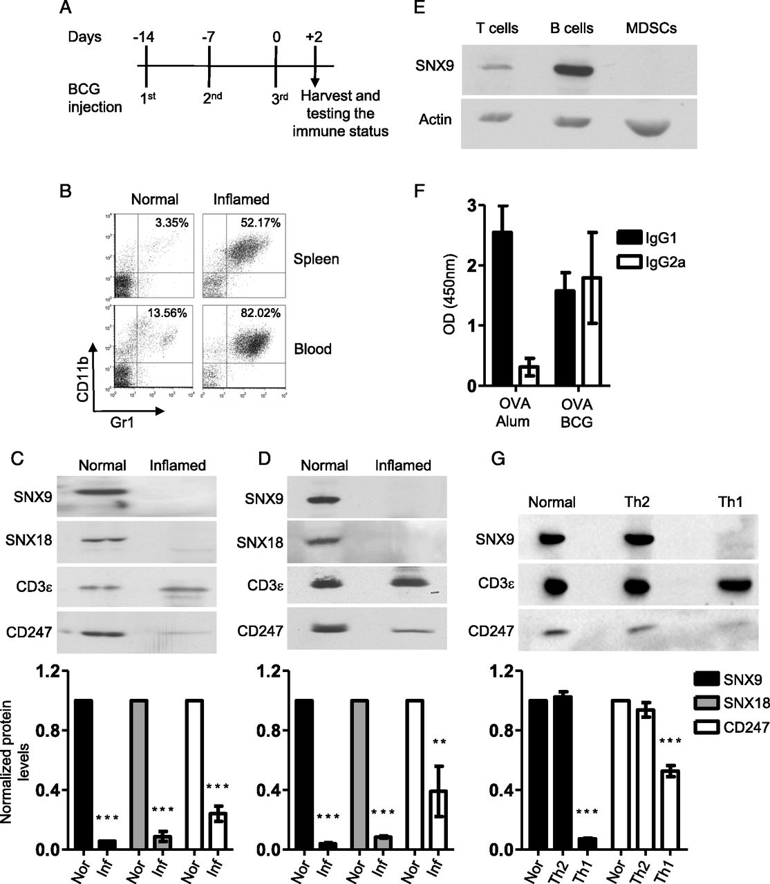 Impaired SNX9 Expression in Immune Cells during Chronic