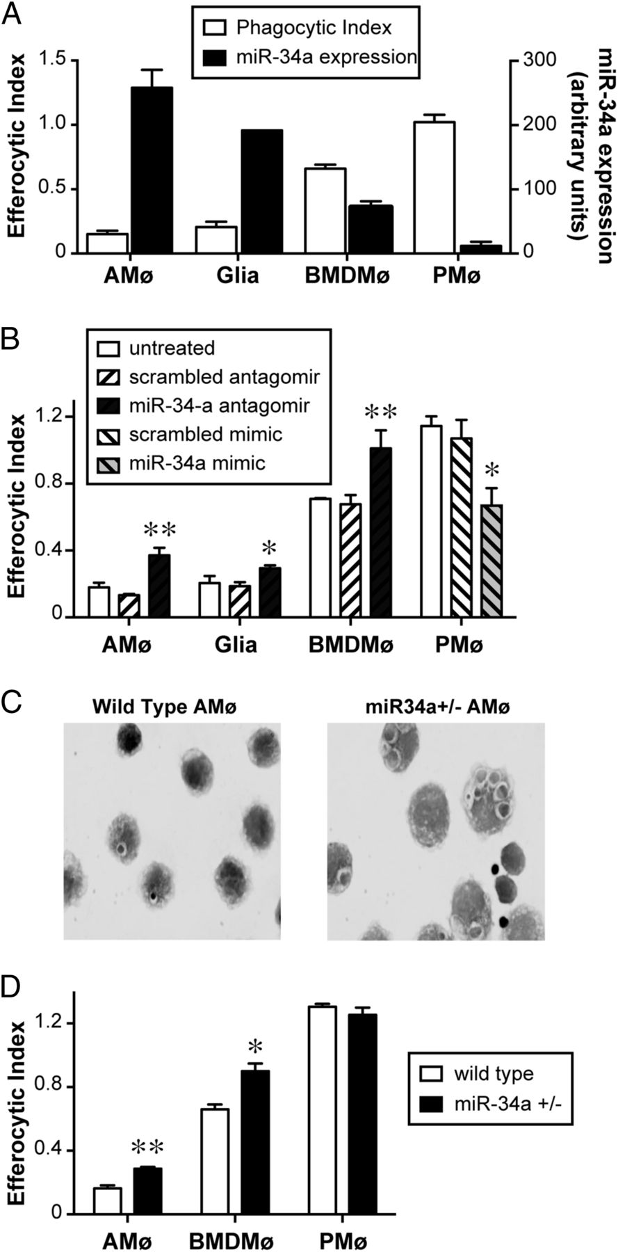 MicroRNA-34a Negatively Regulates Efferocytosis by Tissue