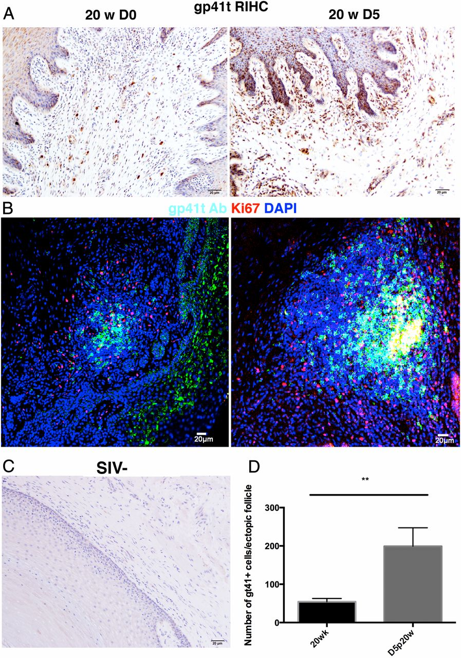 Production of SIV-specific Abs in ectopic follicles and vaginal submucosa