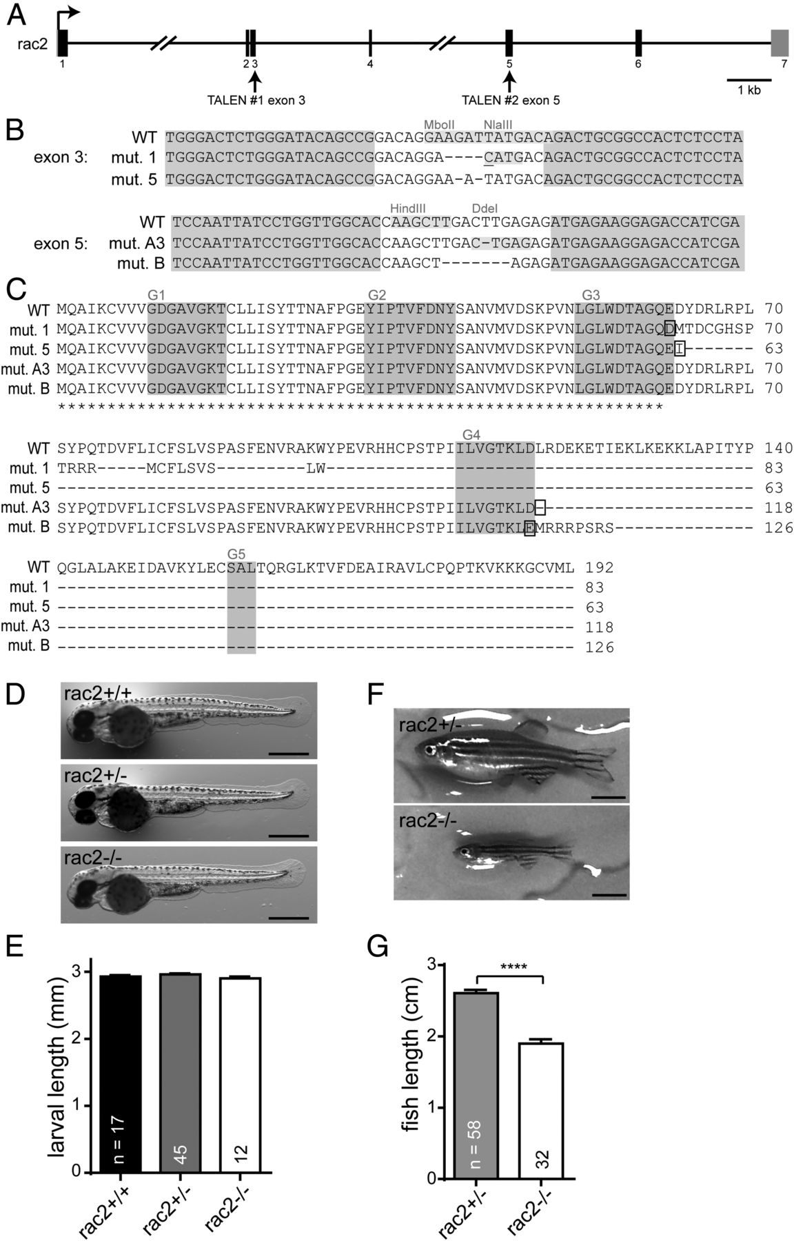 rac2 functions in both neutrophils and macrophages to mediate