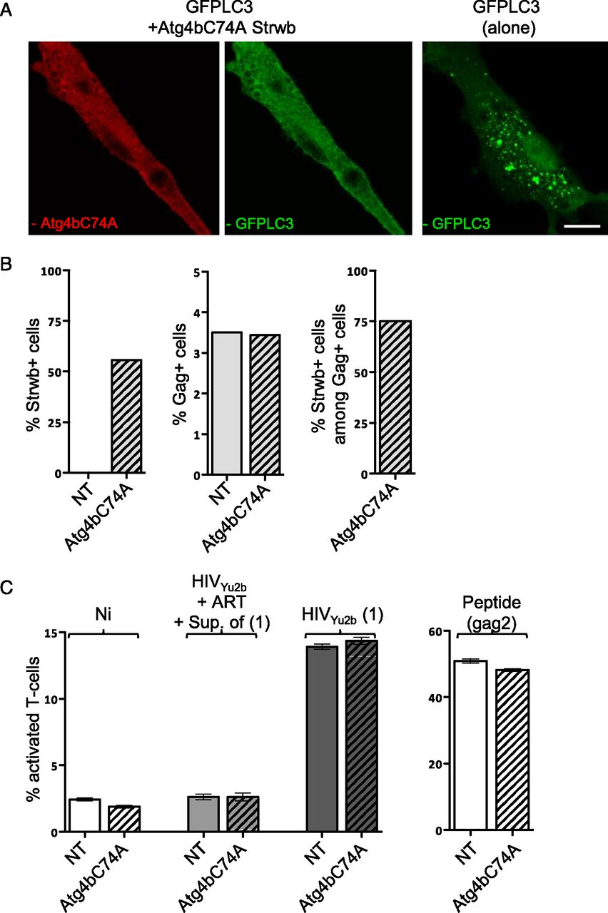 HIV-Infected Dendritic Cells Present Endogenous MHC Class II