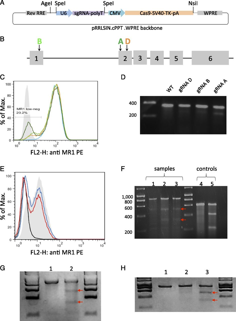 Engineering of Isogenic Cells Deficient for MR1 with a