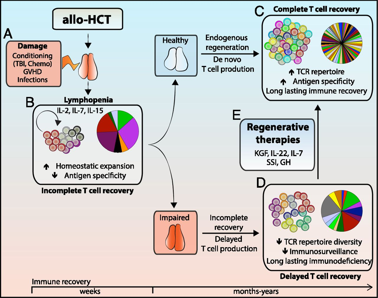 Immune Reconstitution After Allogeneic Hematopoietic Stem Cell Transplantation Time To T Up The Thymus The Journal Of Immunology