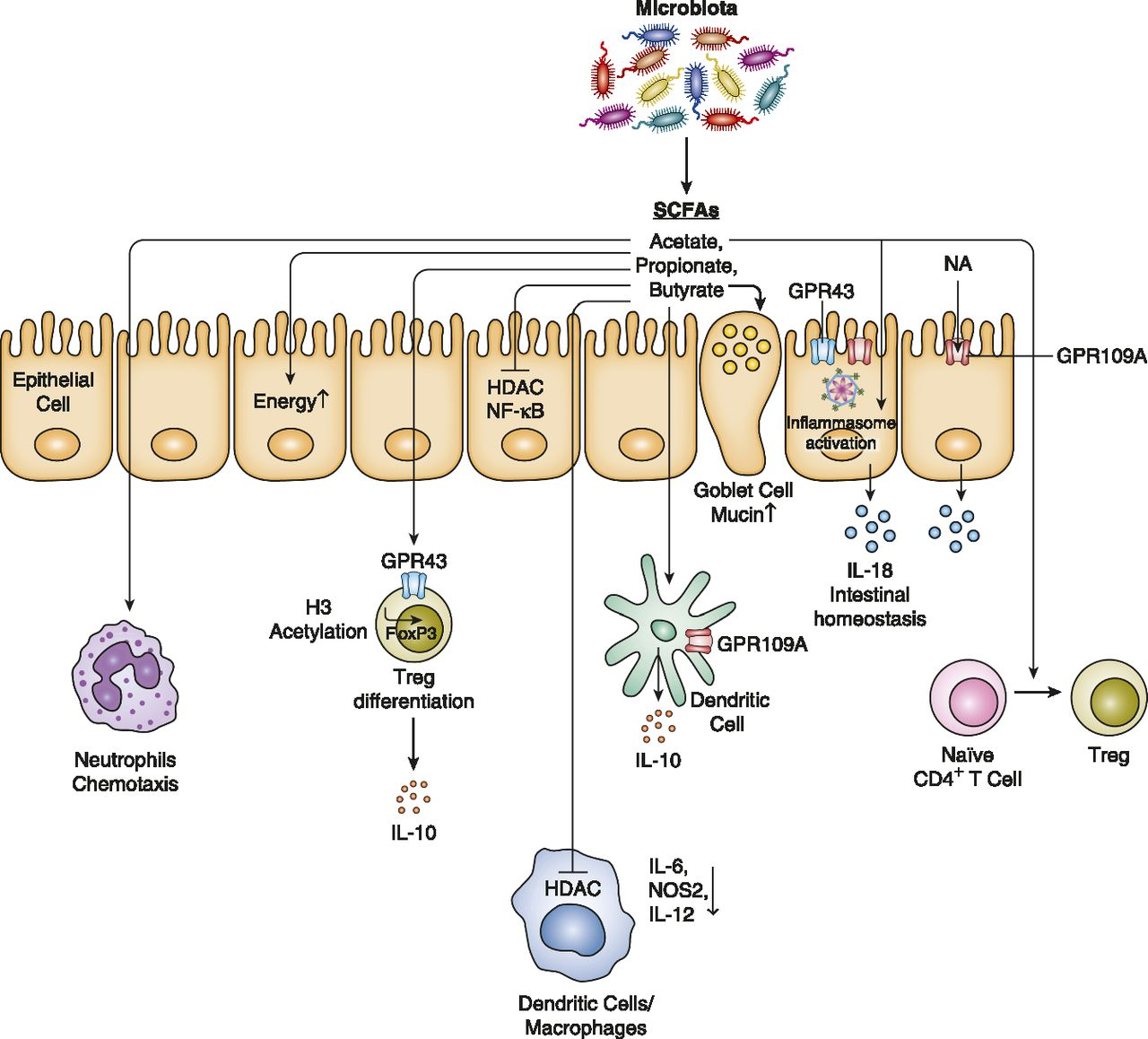 Microbiome Modulated Metabolites At The Interface Of Host