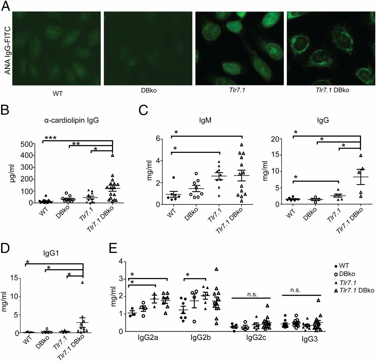 Autophagy in Dendritic Cells and B Cells Is Critical for the