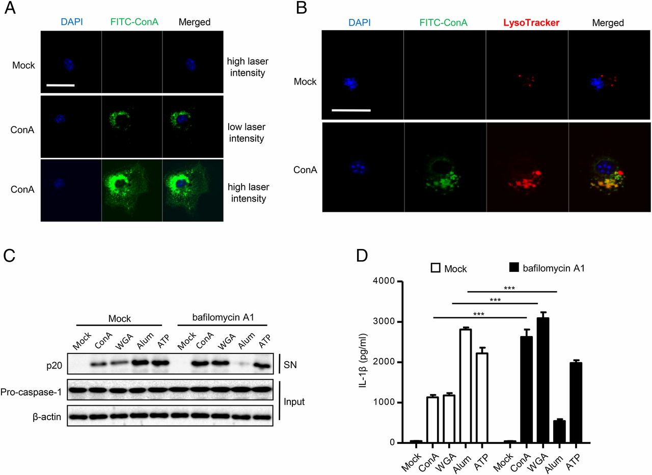 Plant Lectins Activate the NLRP3 Inflammasome To Promote