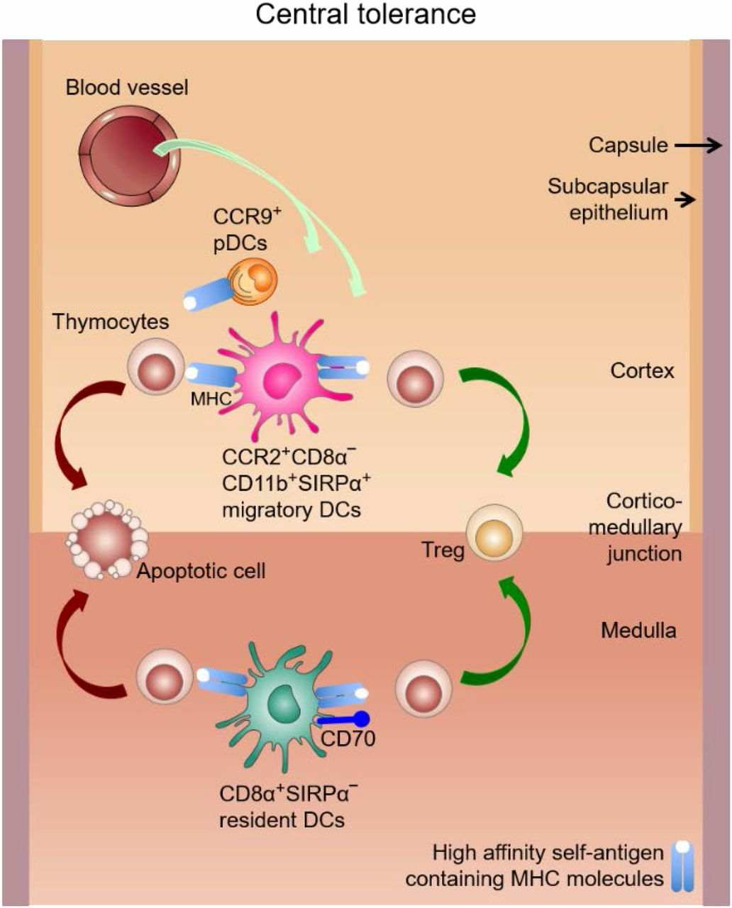 The Importance of Dendritic Cells in Maintaining Immune Tolerance