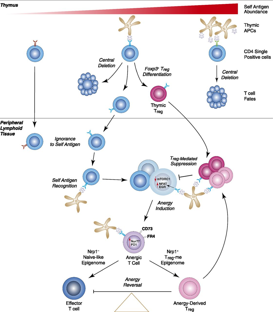 t cells and cd4