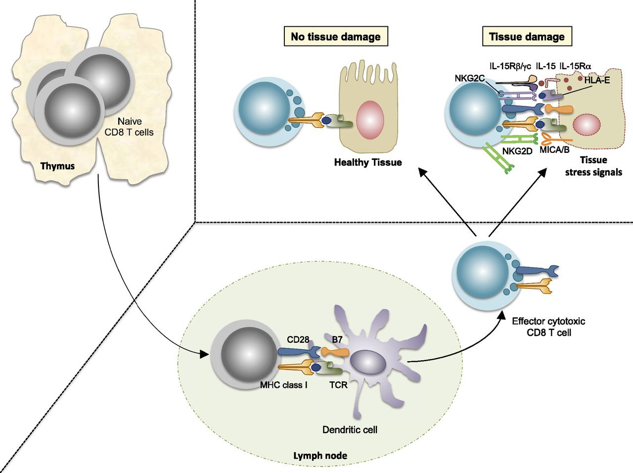 T Cells in Celiac Disease   The Journal of Immunology on france map, neurology map, science map, ecology map, physics map, psychology map, vaccine map, biology map,