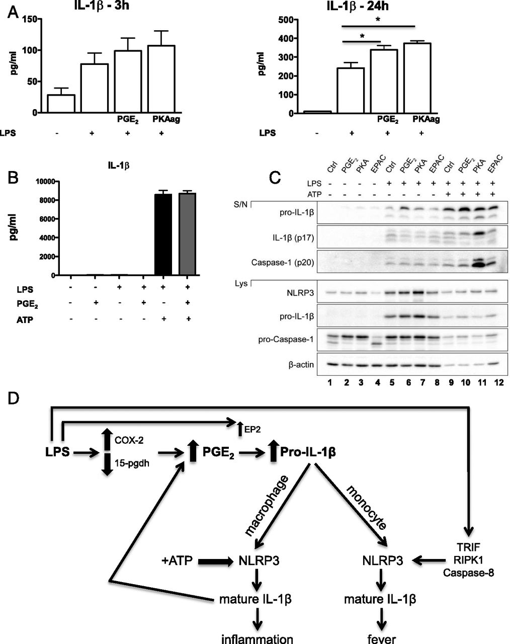 The Induction of Pro–IL-1β by Lipopolysaccharide Requires Endogenous ...