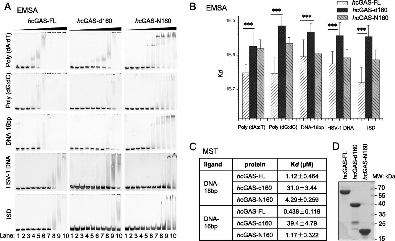 Nonspecific Dna Binding Of Cgas N Terminus Promotes Activation Structure Source People Eku Edu Unlabeled Prokaryotic Cell Diagram Download Figure