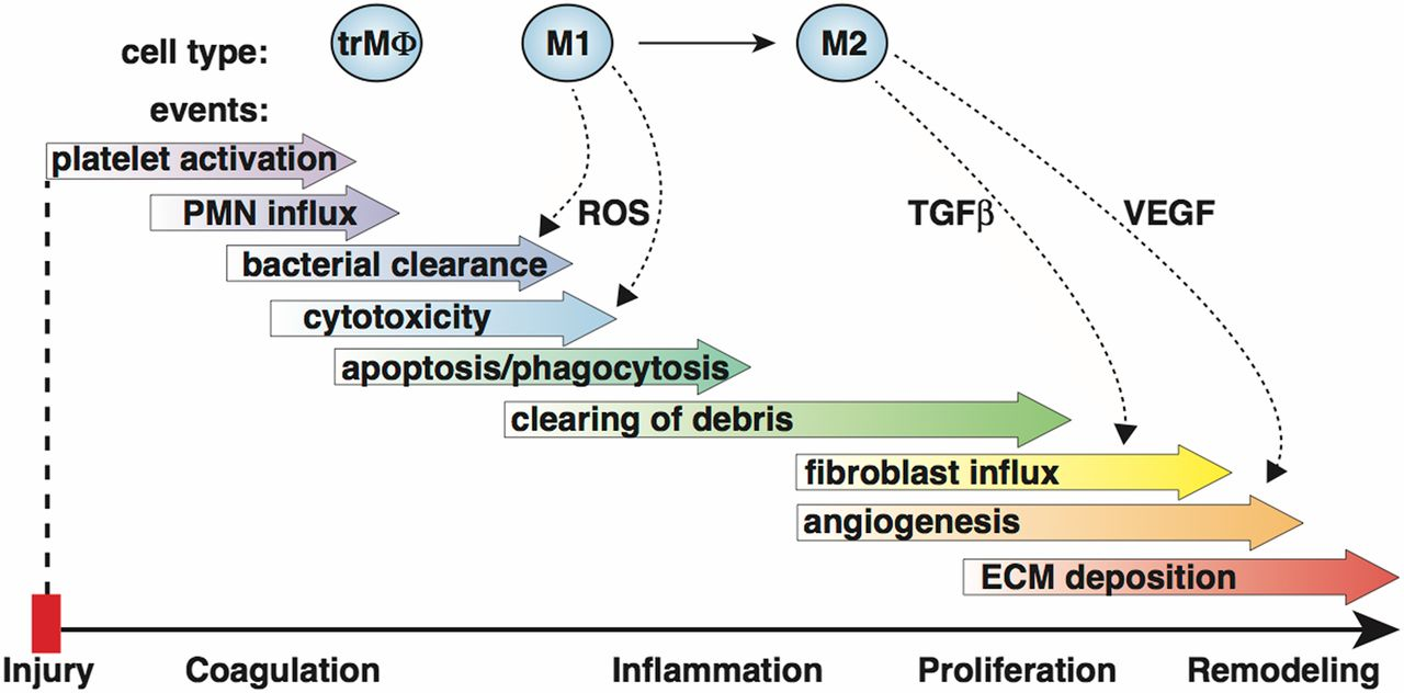 Macrophage-Mediated Inflammation in Normal and Diabetic