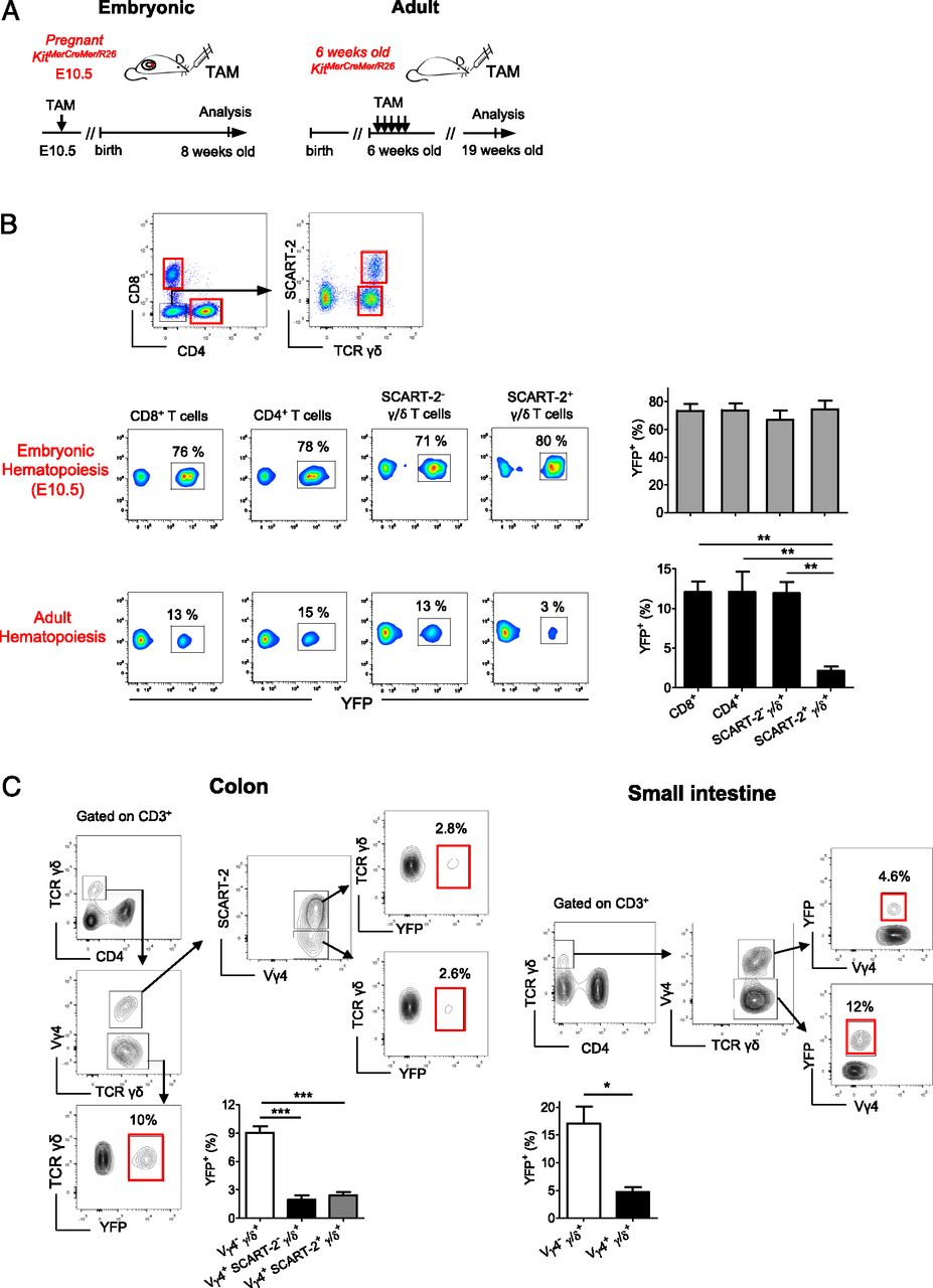 Long-Lived Innate IL-17–Producing γ/δ T Cells Modulate