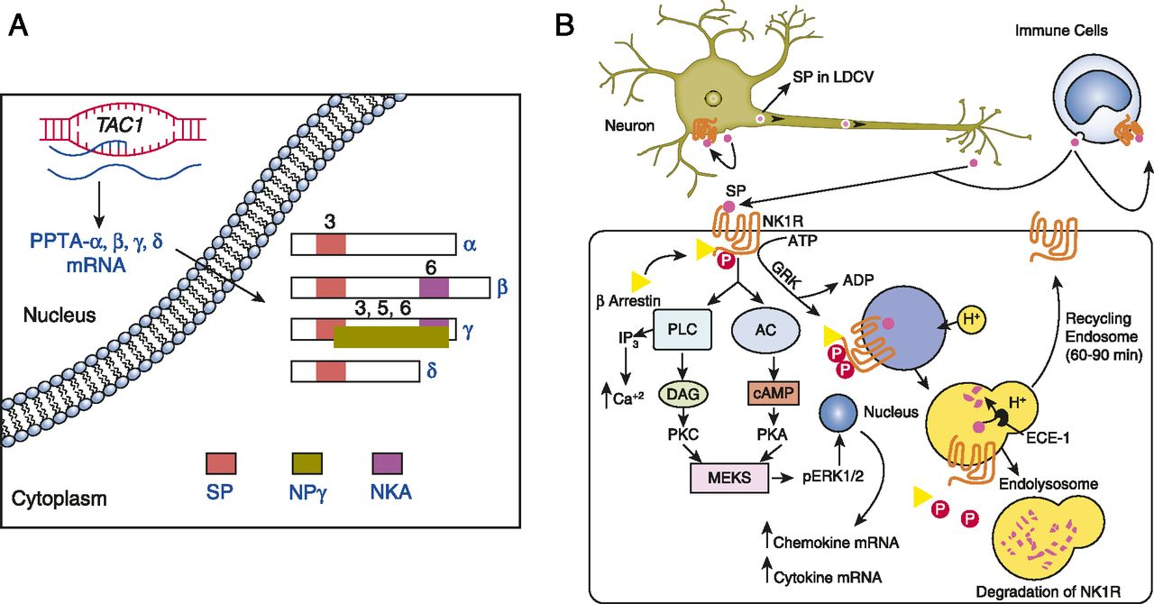 Role of Substance P Neuropeptide in Inflammation, Wound
