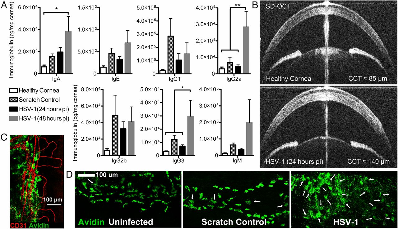 the neonatal fc receptor and complement fixation facilitate download figure