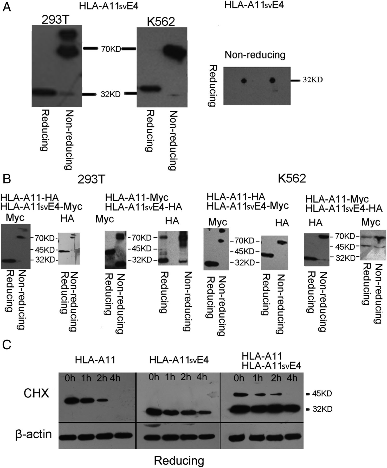 3 deletion isoform of hla a11 modulates cytotoxicity of nk cells download figure publicscrutiny Choice Image