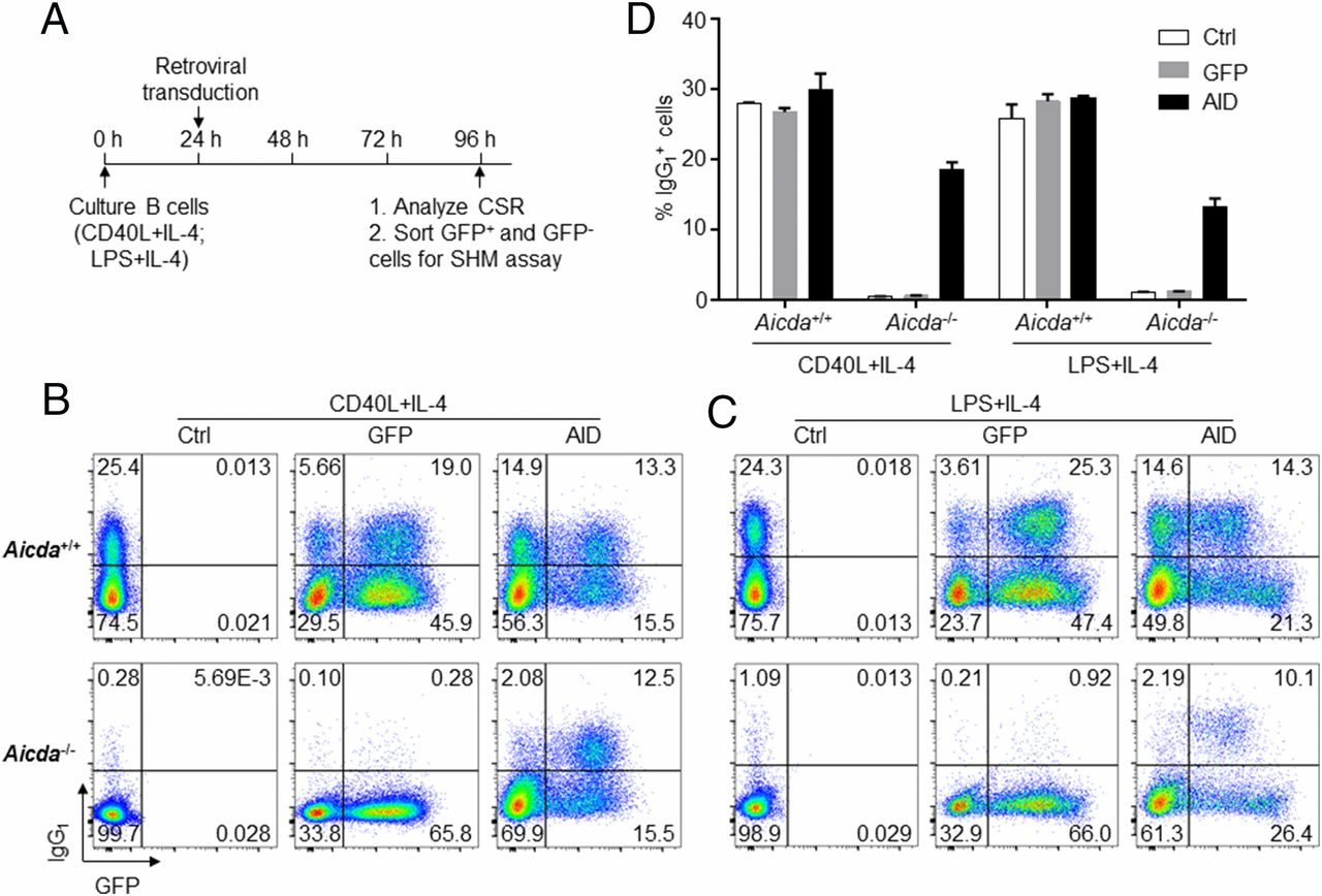 Efficient Induction of Ig Gene Hypermutation in Ex Vivo–Activated