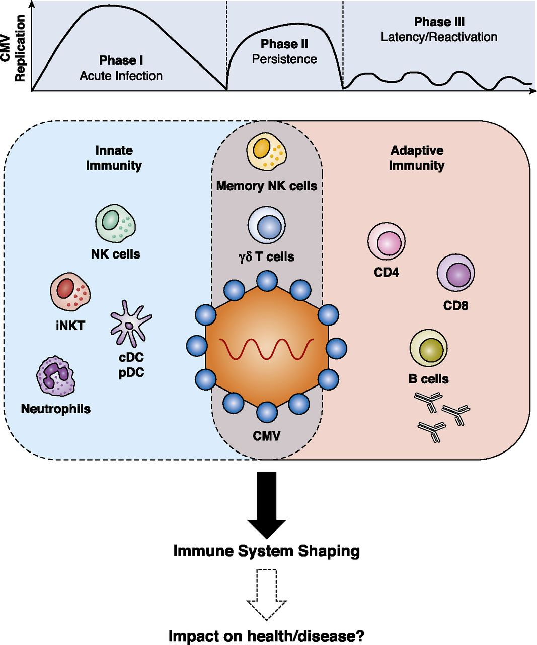 Cytomegalovirus Shape Shifting The Immune System The Journal Of