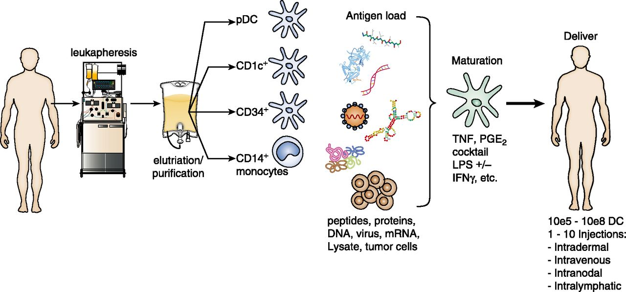 Dendritic Cell–Based Cancer Vaccines | The Journal of Immunology