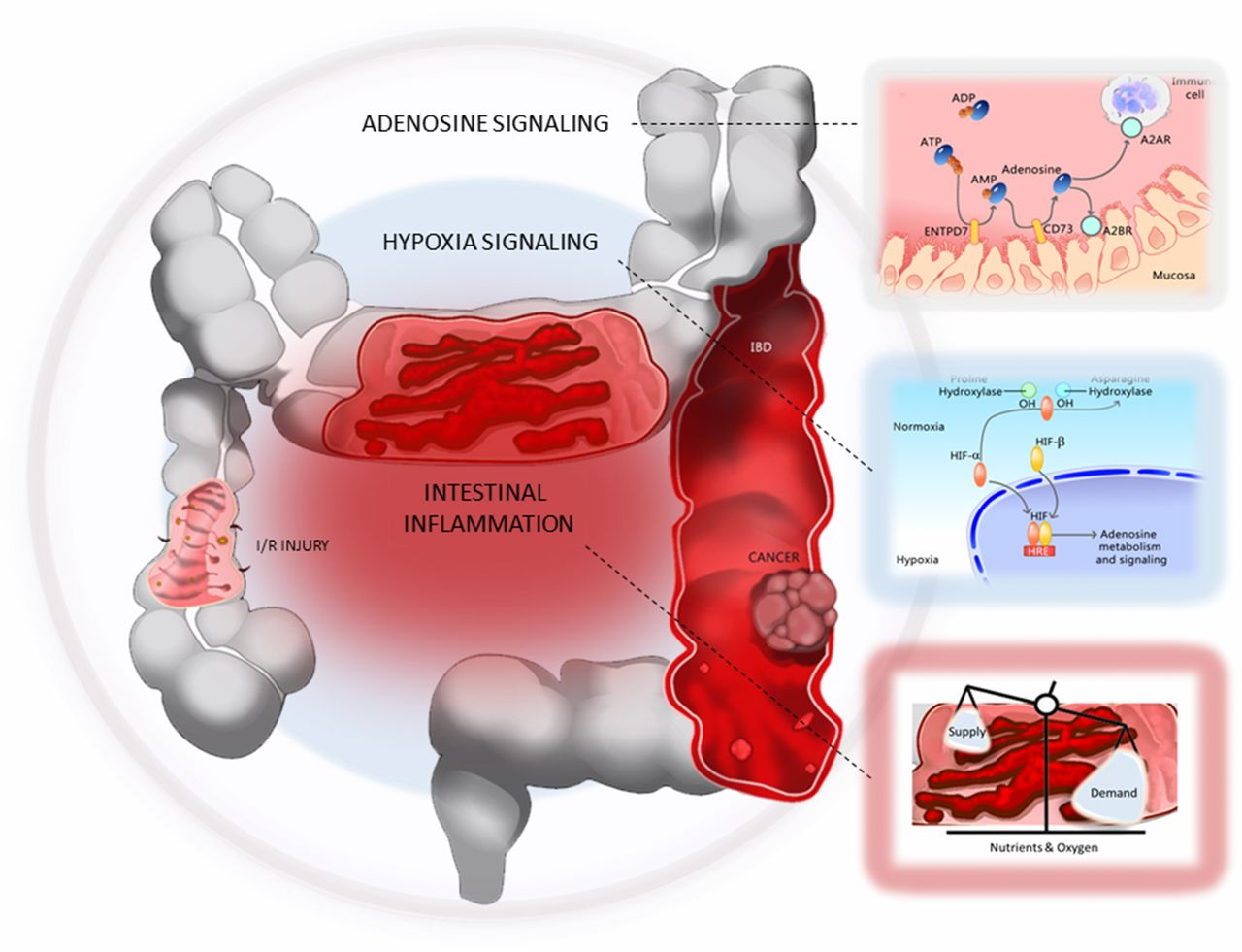 The Hypoxia–Adenosine Link during Intestinal Inflammation | The