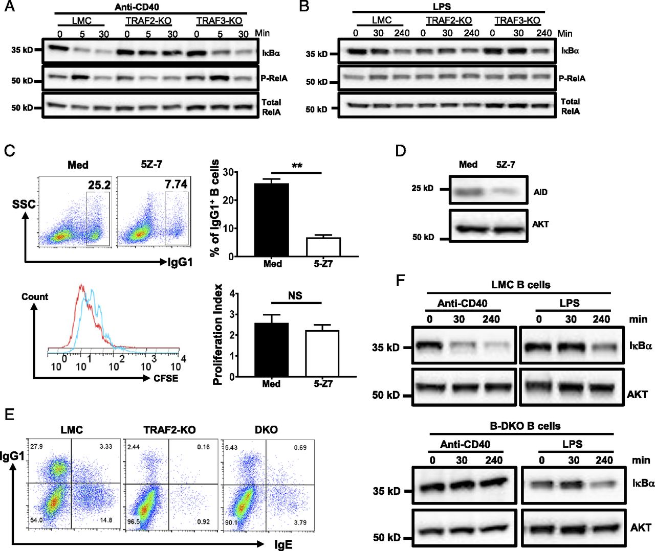 TRAF2 Deficiency in B Cells Impairs CD40-Induced Isotype