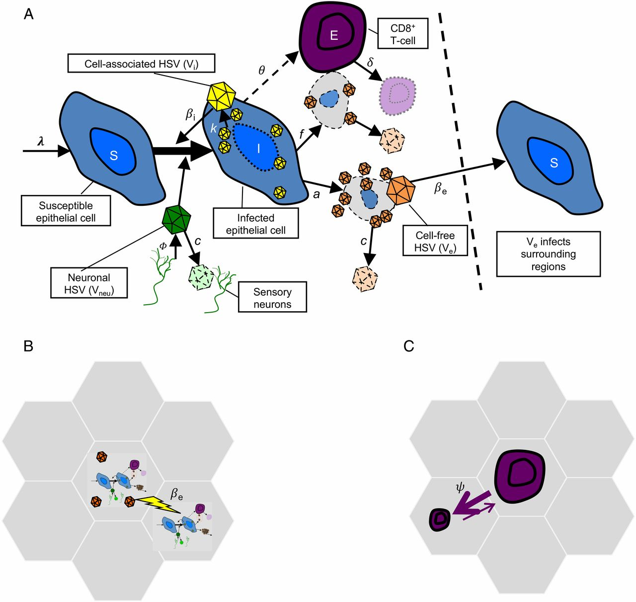 A Fixed Spatial Structure of CD8+ T Cells in Tissue during Chronic