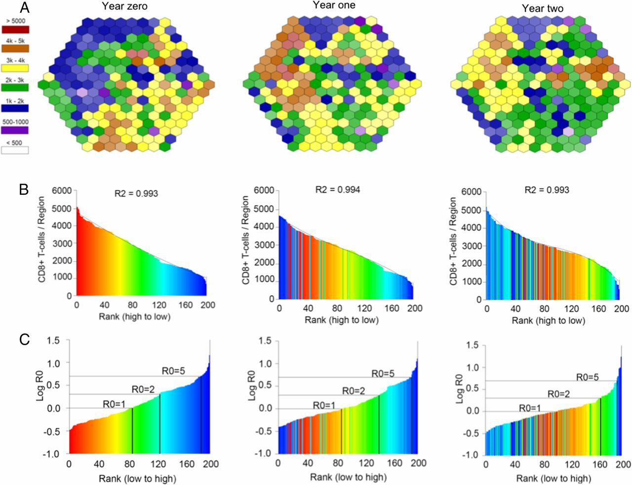 A Fixed Spatial Structure of CD8+ T Cells in Tissue during