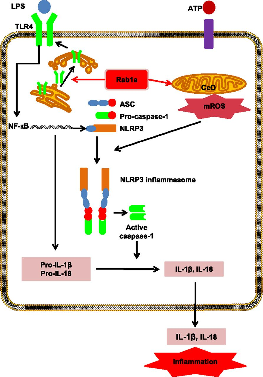 The GTPase Rab1 Is Required for NLRP3 Inflammasome