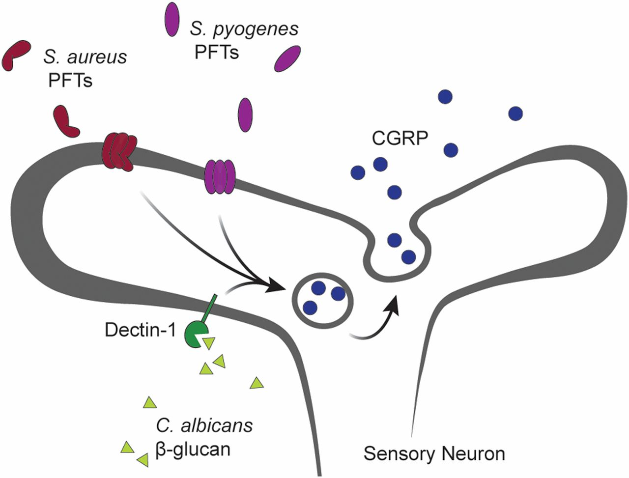 The Neuroimmune Axis in Skin Sensation, Inflammation, and