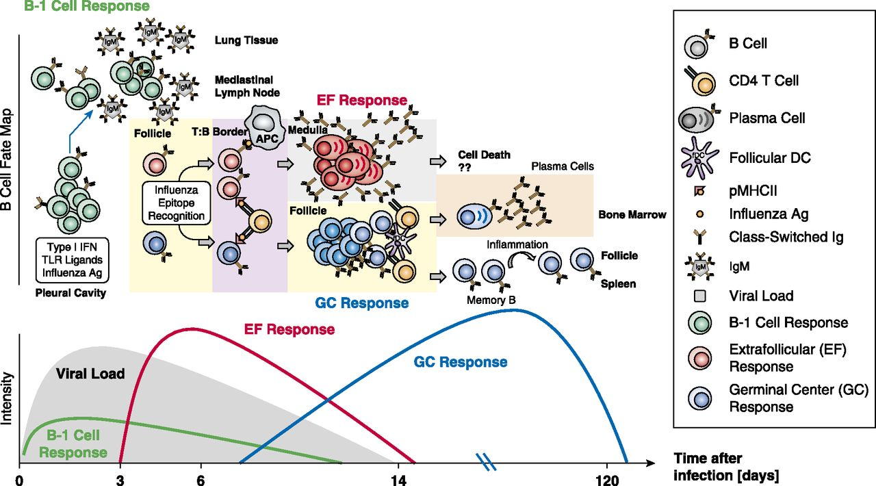 The Multifaceted B Cell Response to Influenza Virus | The
