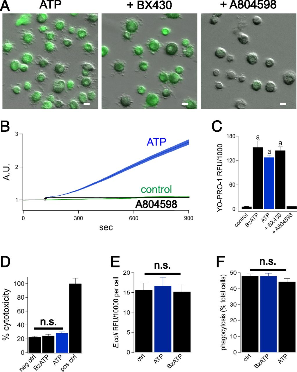 ATP-Gated P2X7 Receptors Require Chloride Channels To