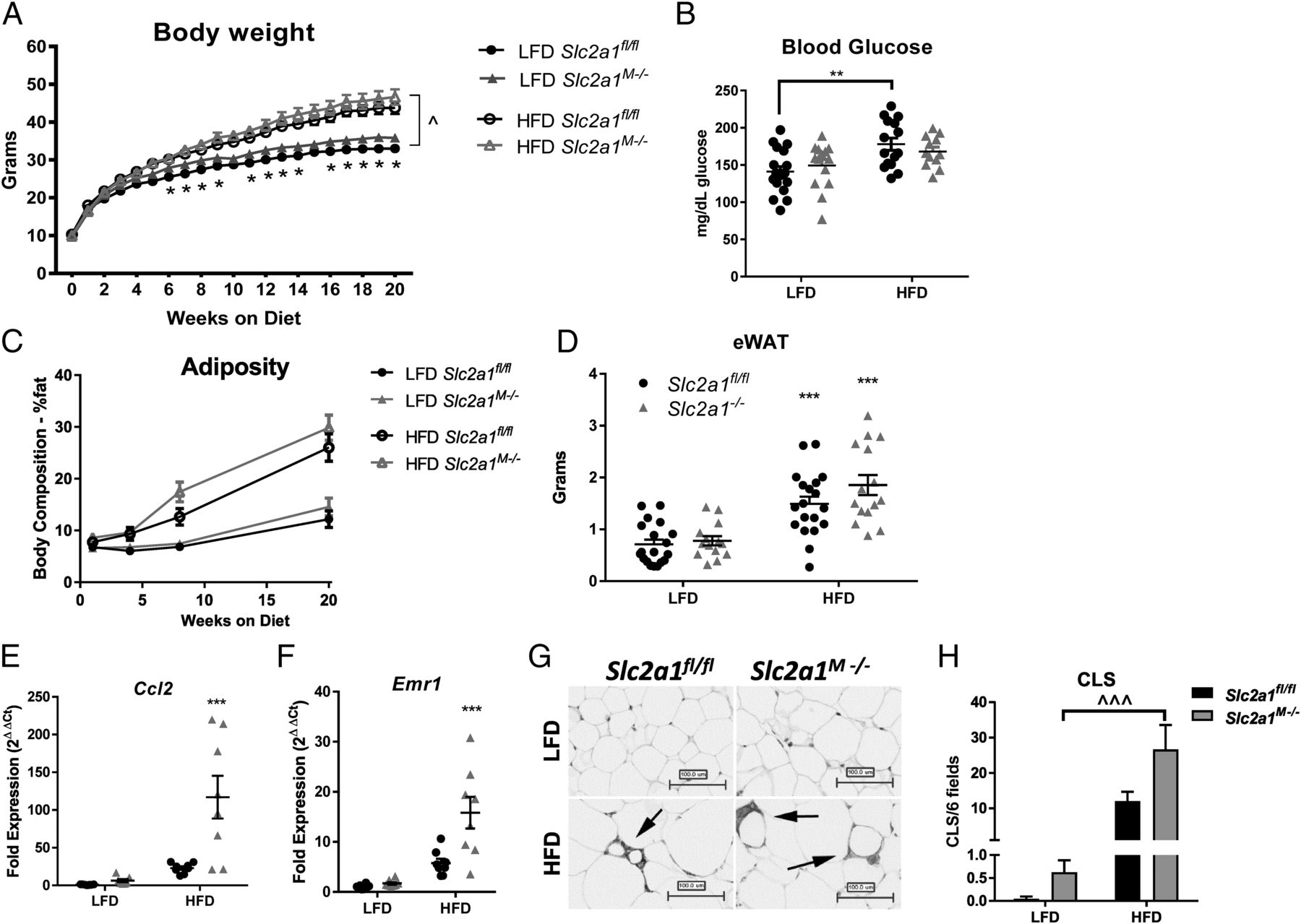 Myeloid Slc2a1-Deficient Murine Model Revealed Macrophage Activation