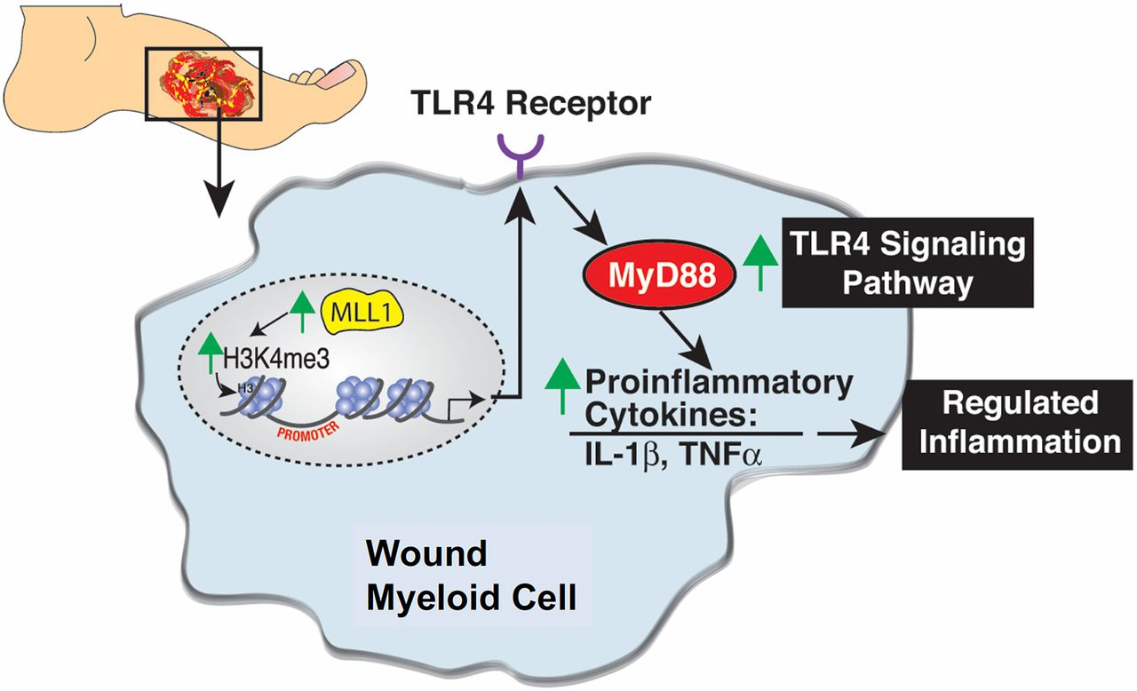 Histone Methylation Directs Myeloid TLR4 Expression and