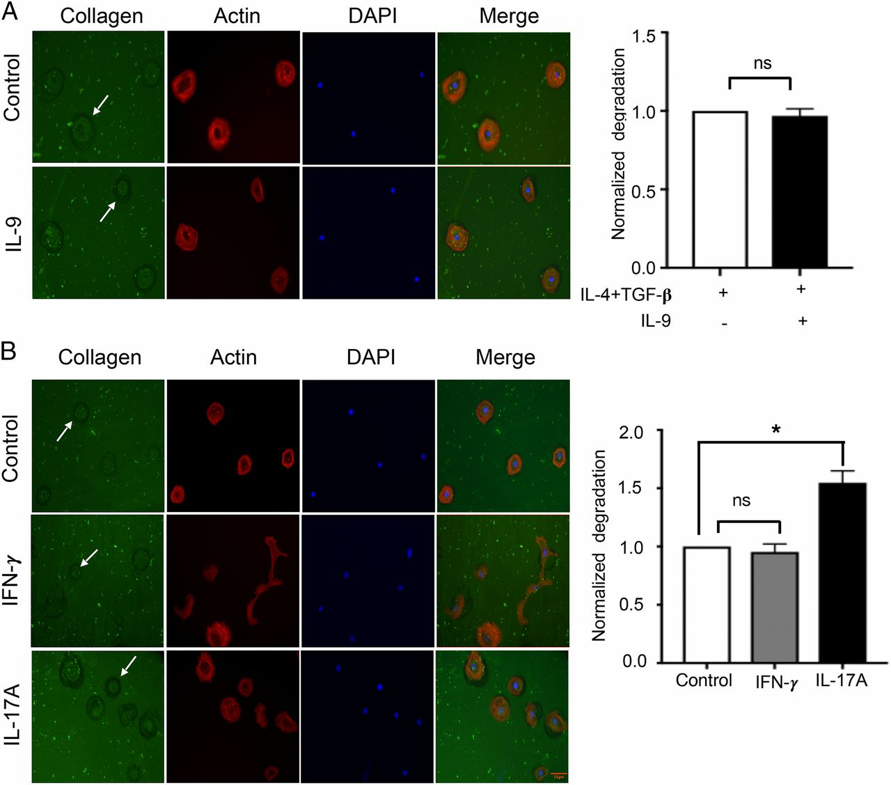 Differential Influence of IL-9 and IL-17 on Actin