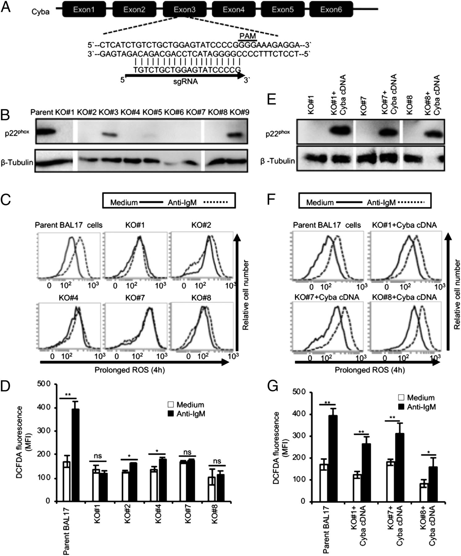 Essential Role of NADPH Oxidase–Dependent Production of