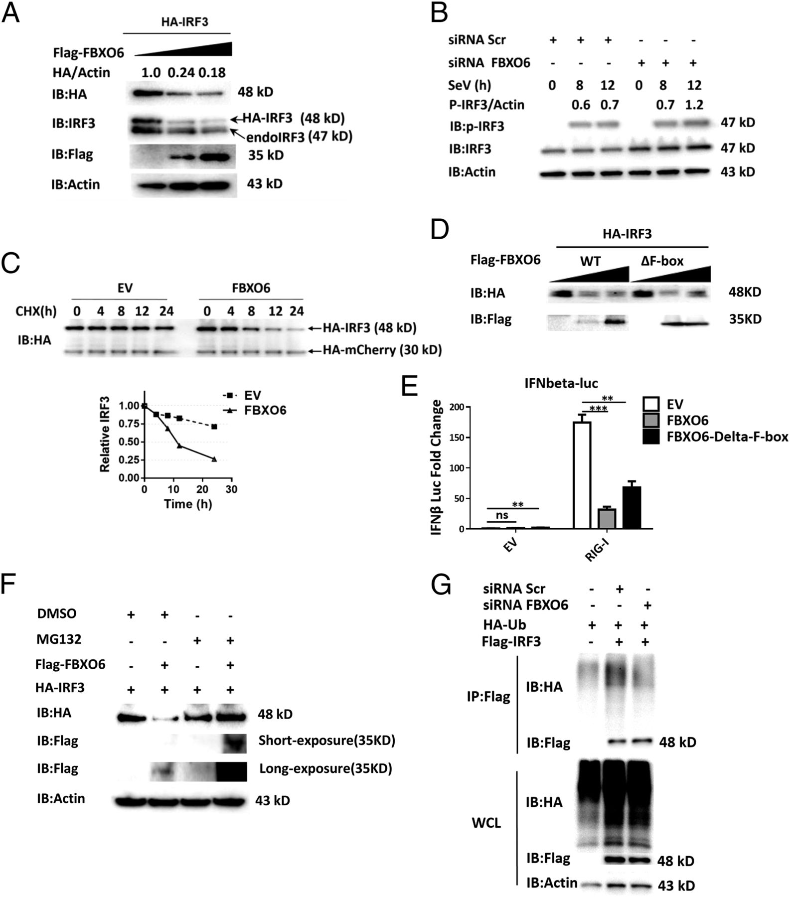 Noncanonical Role of FBXO6 in Regulating Antiviral Immunity | The